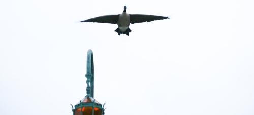 LakeMerritt-goose-crop4548
